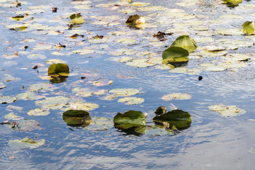 Floating Lily Pads