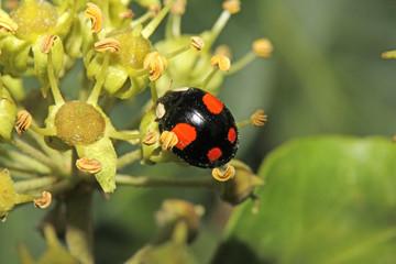 coccinella nera e rossa (Harmonia axyridis)