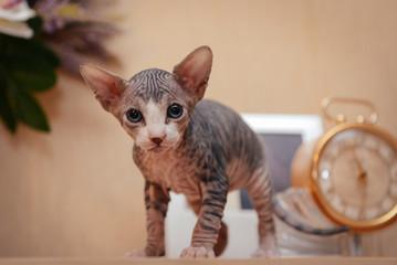 Sphynx cat on the table