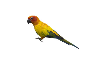 Beautiful Parrot, sun Conure , yellow parrot , small parrot isolated on white background