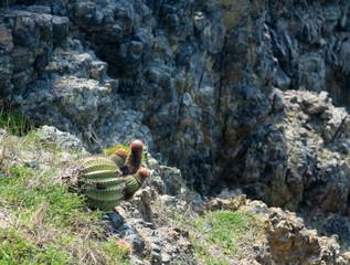 Turk's Cap cactus on St Martin