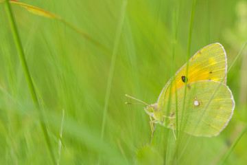 yellow butterfly hiding between green herbs