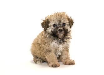Teddy Bear puppy on white background