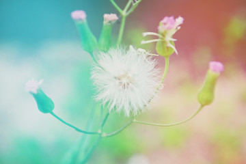 Grass flower soft focus background with two tone color,colorful nature background