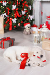 Two dog breed Golden Retriever,a sweet sleep on the white floor in the room,on the neck of the puppy tied with red ribbons,a festive picture on the background of the Christmas tree