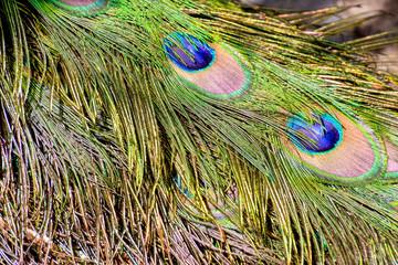 Colred Peacock Animal Bird