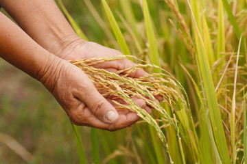 Farmer hand holding rice.