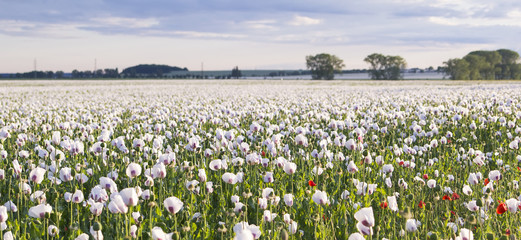 background panoramic view of a field of white poppies in the countryside in Czech Republic