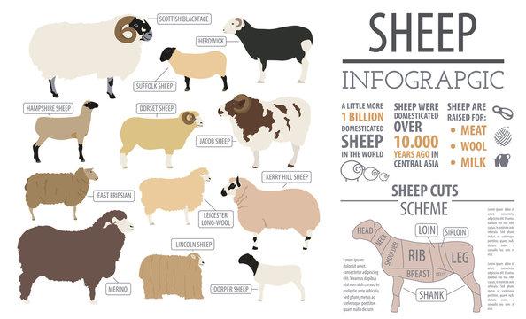 Sheep breed infographic template. Farm animal. Flat design