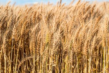 実った小麦