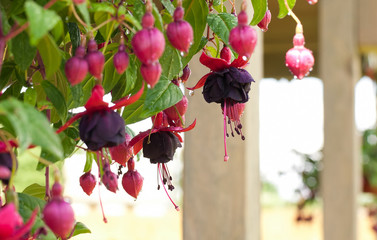Fuchsia in droplets. Shallow DOF