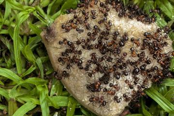 Swarm of Ants Eating Dicarded Dog Bone