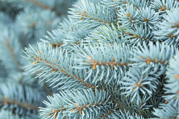 natural background branch blue spruce