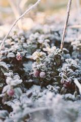 frozen hoarfrost  berries in the winter forest