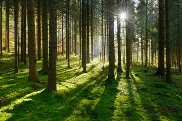 Fichtenwald im warmen Licht der Morgensonne, weiche Moospolster bedecken den Boden