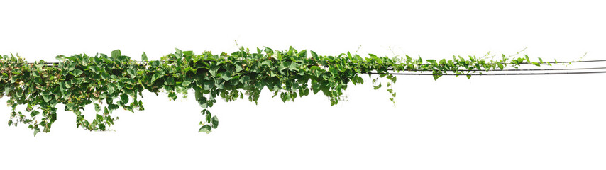 Vine plant, Ivy leaves plant on poles isolated on white backgrou