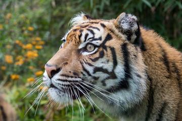 sumatra tiger portrait close up while lokking at you