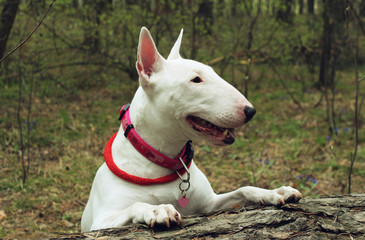 White Bullterrier on nature