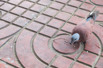 Pigeon carry twig on path