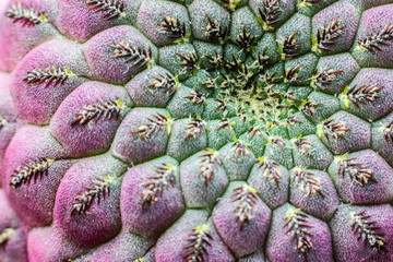 Sulcorebutia RauschiI cactus, texture