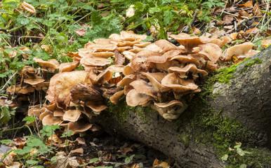 Gymnopilus penetrans, Common rustgill fungi