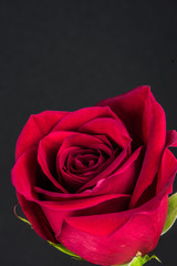 Red Rose with Black Background Vertical