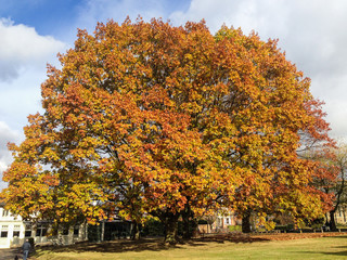 Large wide sycamore tree in autumn, winter in the sunshine with red and golden leaves of fall. the tree is in Sevenoaks, kent, UK