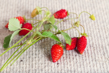 Wild strawberry branch with red and green berries