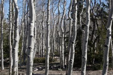 Aspen Forest in the Spring