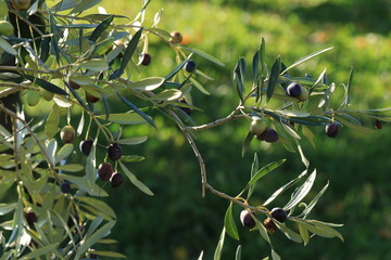 Branches with olives