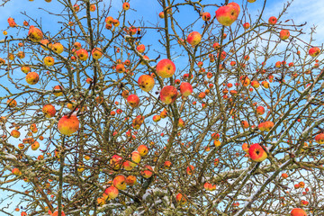 Bare apple trees with frozen red apples on it in the garden in winter time on blue sky background