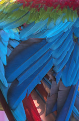 Colorful of  green wing Macaw bird's feathers, exotic nature background and texture ,wings macaw feathers