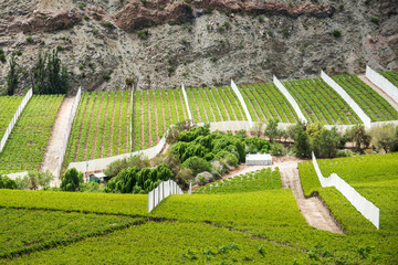 Spring Vineyard. Elqui Valley, Andes, Chile