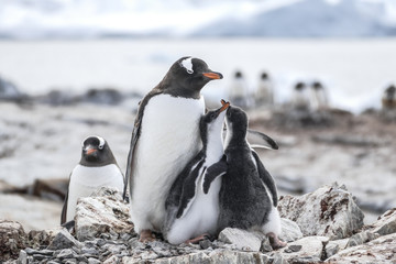 Gentoo Penguin and two chicks
