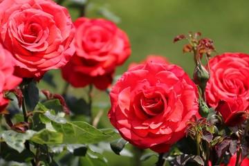 薔薇(フィデリオ)