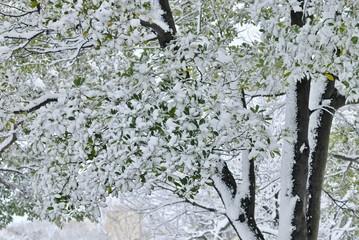 緑の葉に積もる雪.