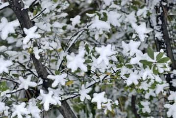 緑の葉に積もる雪