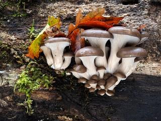 Austern-Seitling oder Austernpilz (Pleurotus ostreatus)