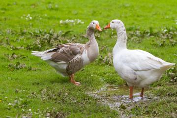 goose outdoor portrait