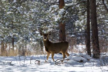 Mule Deer in Winter Snowstorm