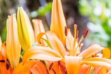 lilia flower on natural background