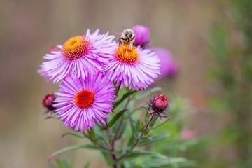 Bee on Michaelmas daisy flower