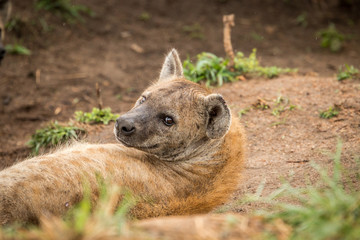 Spotted hyena looking at the camera.