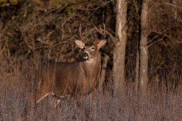 White-tailed deer buck in the early morning light during the rut in Ottawa, Canada