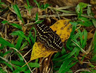 black butterfly on dry leaf