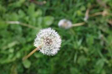 Taraxacum - Dandelion - Seed Head