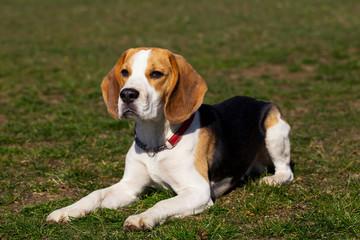 dog breed beagle