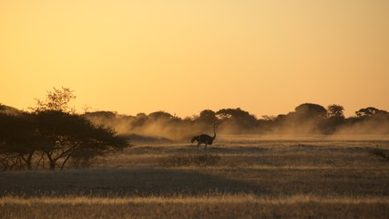 Ostrich running among the golden light from the sunset in Namib Desert in Botswana