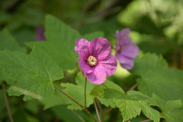 Purple-Flowered Raspberry