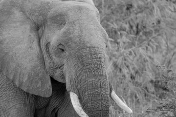 Side profile of an Elephant in black and white.